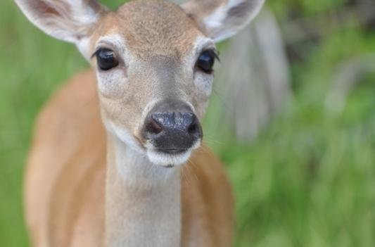 javier_dorquez_photography_deer